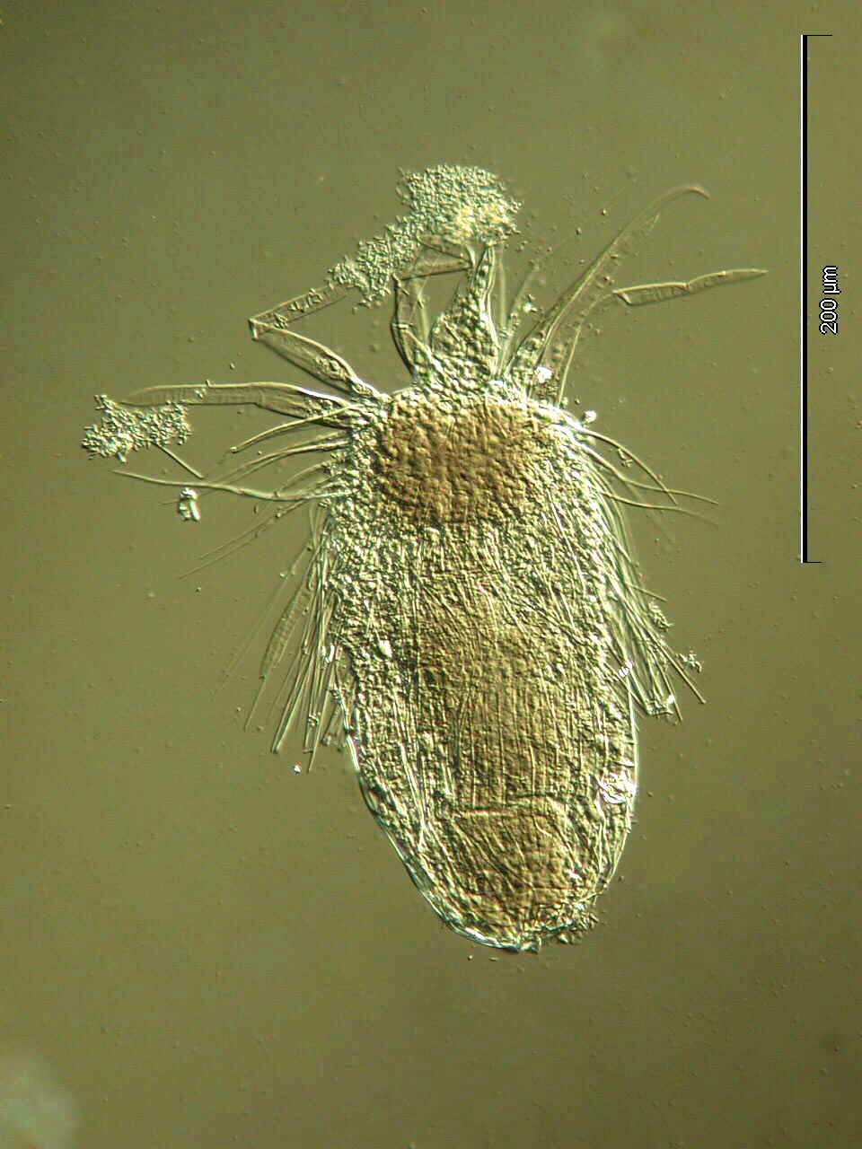 <CITE>Pliciloricus shukeri</CITE> adult JPEG